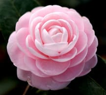 How to Grow & Care for Camellias