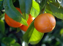 Citrus trees, grown in warm southern climates, are both practical and beautiful.