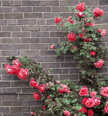 Planting Container & Bare Root Roses
