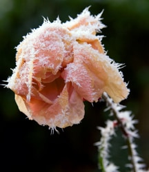 Winter Protection for Roses