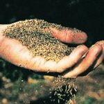 Grass seed  Photo: Canada Green