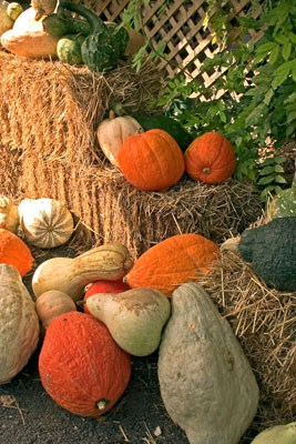 how to grow pumpkins commercially