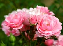 Special Rose Planting Techniques