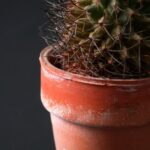 cactus in flower pot