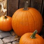 how to harvest pumpkins