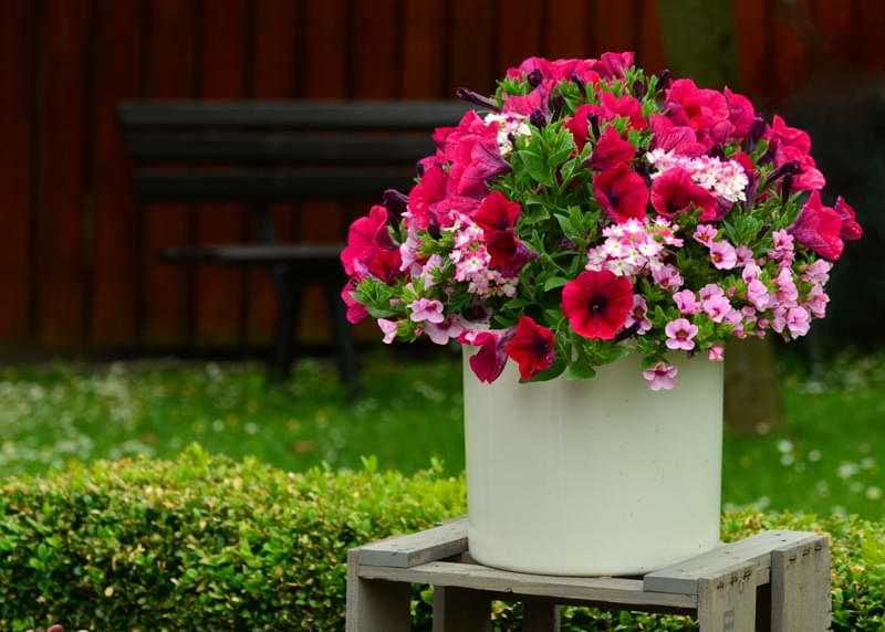 A potted pink petunia in front of a green lawn.