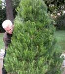 preparing Christmas tree