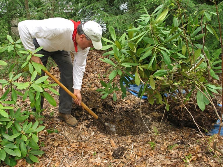 When planting a rhododendron, rich soil is a key to success.