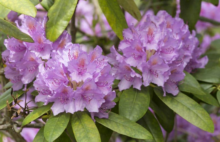 Purple rhododendron provides dense foliage and rich color.