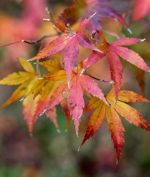 Japanese maple tree leaves