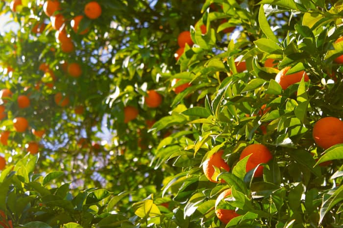 Orange trees in sunlight