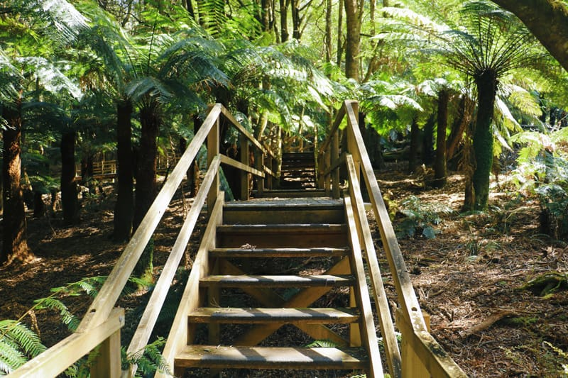 Raised wooden walkway winding through a forest of ferns.